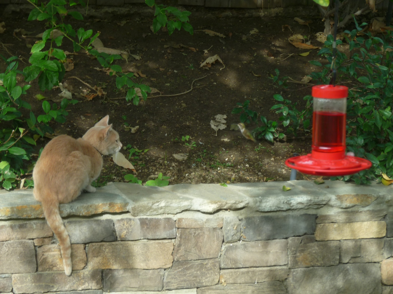 Cat and Hummingbird Harmony in my Backyard